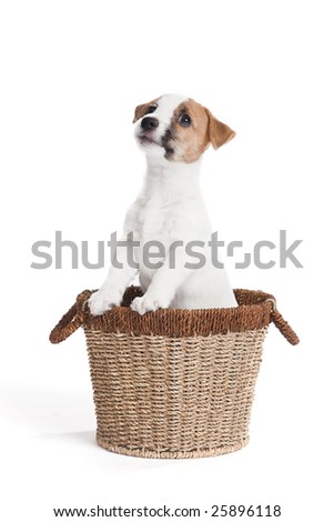 isolated cute jack russell terrier puppy over white background