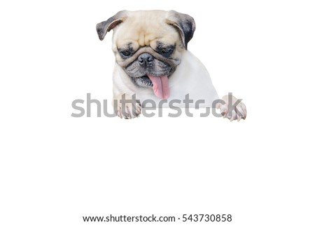 Isolated cute puppy dog pug look down with copy space for label and clipping path