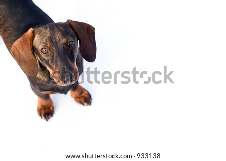 Isolated dachshund. Lots of space for copy .