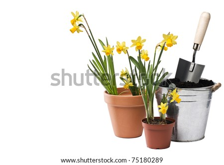 Isolated daffodils and can with soil close up