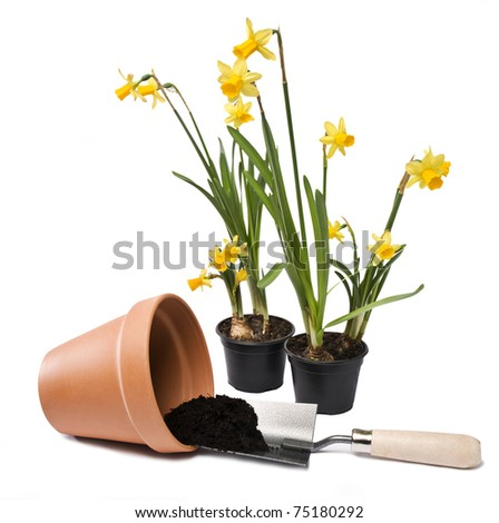 Isolated daffodils and flower pot close up