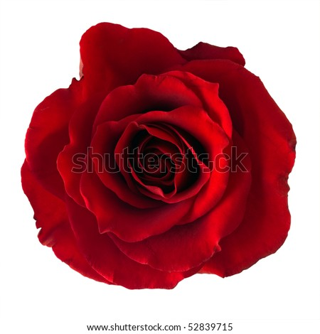 Isolated dark red rose.