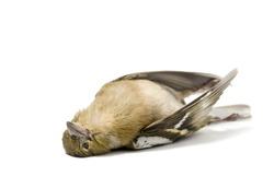isolated dead bird on white