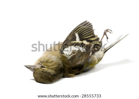 isolated dead bird on white