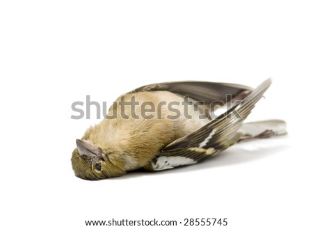 isolated dead bird on white - stock photo