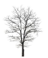 isolated death tree on white background with clipping path
