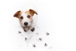ISOLATED DIRTY JACK RUSSELL DOG, AFTER PLAY IN A MUD PUDDLE WITH PAW PRINTS  AGAINST  WHITE BACKGROUND. HIGH ANGLE VIEW.