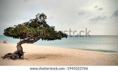 Isolated Divi Divi Tree on the beach Photo stock ©