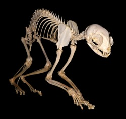 Isolated domestic cat (Felis catus Linnaeus, 1758) skeleton (sublateral view) against a black background