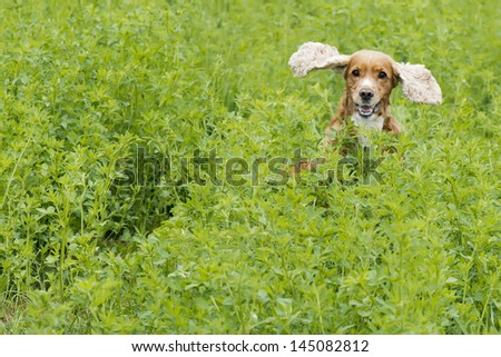 Isolated english cocker spaniel while jumping on the grass background