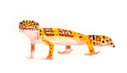 Isolated Eublepharis lizard on a white background. Reptile gecko yellow spotted. Exotic tropical animal. Smiling animal