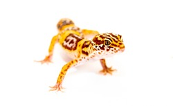 Isolated Eublepharis lizard on a white background. Reptile gecko yellow spotted. Exotic tropical animal.