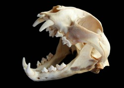 Isolated Eurasian lynx (Lynx lynx) skull on a black background