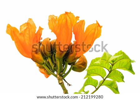 Isolated flower, Closeup of range african tulip tree of  babados island on white background