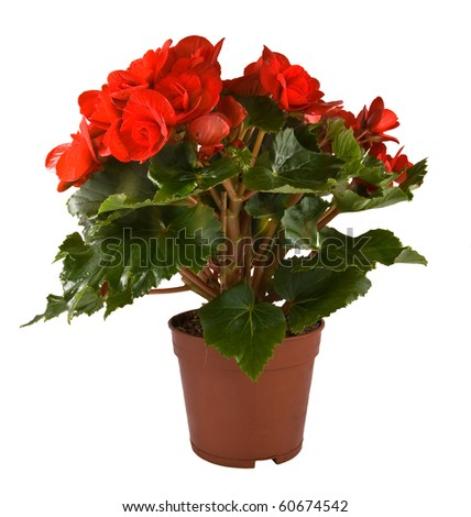 Isolated flower in pot: Begonia Elatior gemengd