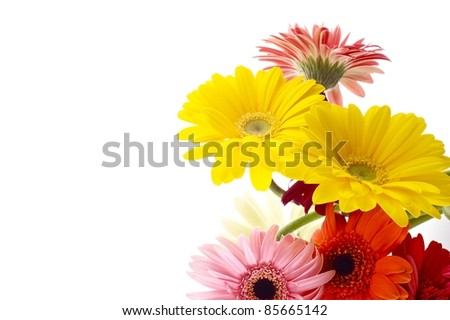 Isolated Flowers - Gerberas on White Background.