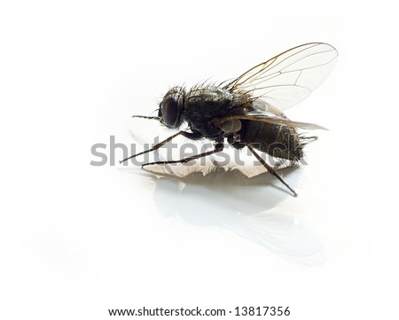 isolated fly on white background with reflection - stock photo
