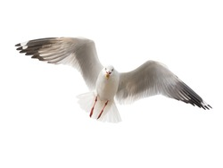 isolated flying common seagull on white background.
