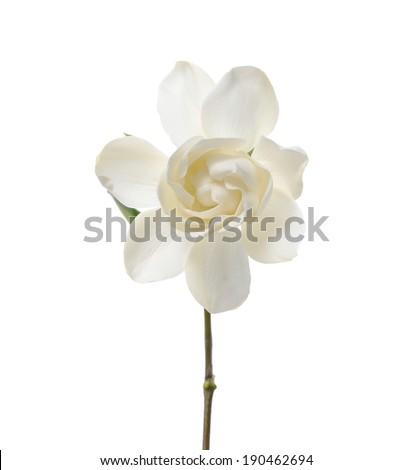 Isolated gardenia flower
