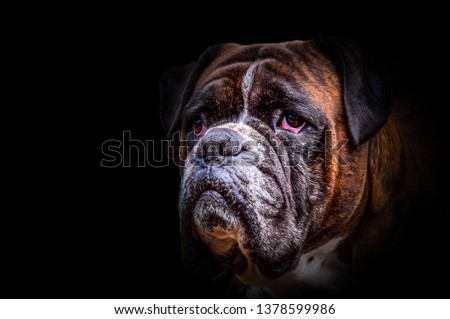Isolated german boxer dog head