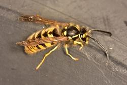Isolated German yellow jacket (Vespula germanica) with black antennae stationary on a polyethylene surface.
