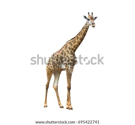 Isolated Giraffe #695422741
