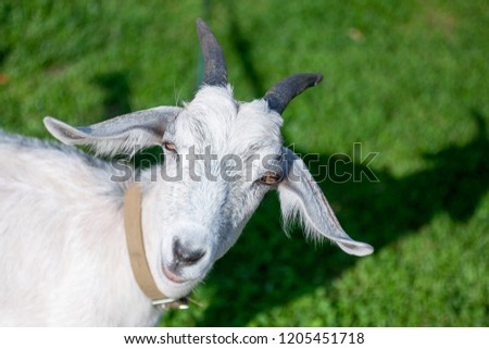 Isolated goat closes its eyes because of the sun, stands on fresh green grass in the countryside. Goat head in the left side of the picture. Animal background with a free space for text