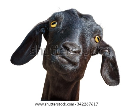 Isolated goat. Head of funny silly looking black goat isolated on white background with clipping path