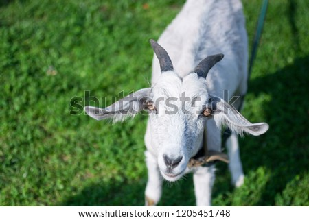 Isolated goat looking straight into the camera, stands on fresh green grass in the countryside. Goat head in the right side of the picture. Animal background with a free space for text