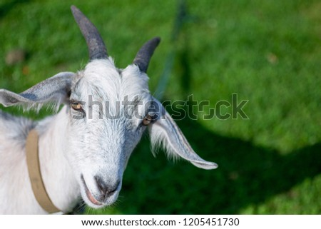 Isolated goat stands on fresh green grass in the countryside. Goat head in the left side of the picture. Animal background with a free space for text