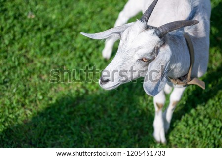 Isolated goat stands on fresh green grass in the countryside. Goat head in the right side of the picture. Animal background with a free space for text