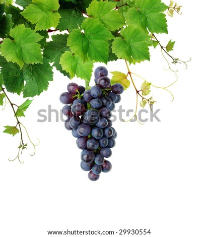 Isolated grapevine and blue grape