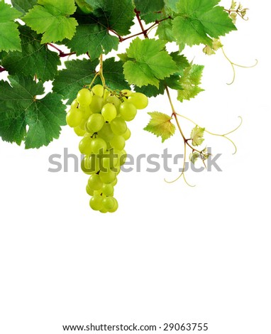 Isolated grapevine with grape cluster