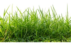 Isolated green grass on a white background,Close up.