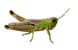 Isolated green grasshopper closeup on white background