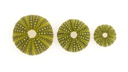 Isolated green sea urchins on a white background