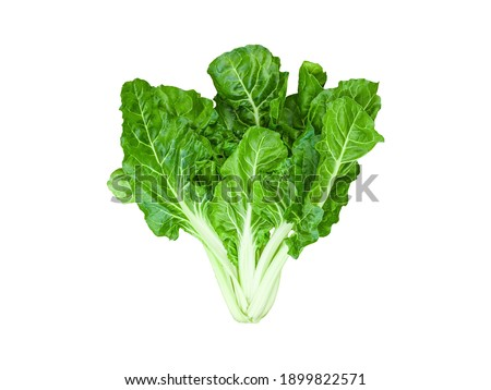 isolated green swiss chard or silverbeet whole plant the edible leaf lettuce vegetable for healthy food and vegan salad ingredient with clipping path on white background