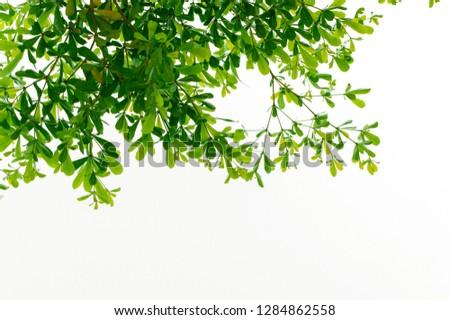 isolated green tree leaf fresh on white background