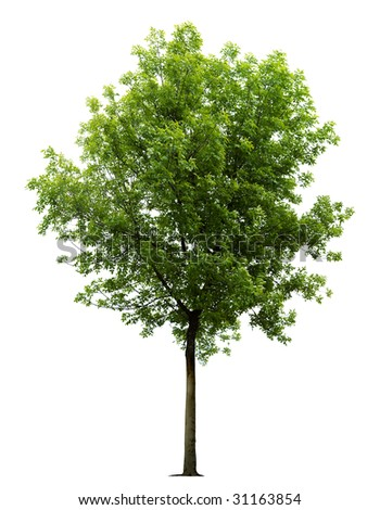 Isolated green tree on the white background