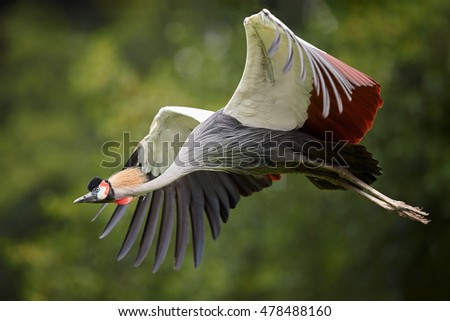 Shutterstock Isolated Grey crowned crane, Balearica regulorum, African bird with crown of stiff golden feathers,  flying against green blurred background. Uganda, Murchison falls, Africa.