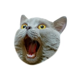 Isolated head of a british cat looking up. The cat opened his mouth with a mad look. The concept of an animal that is surprised or amazed. The figure of a cat on an isolated background of white color.