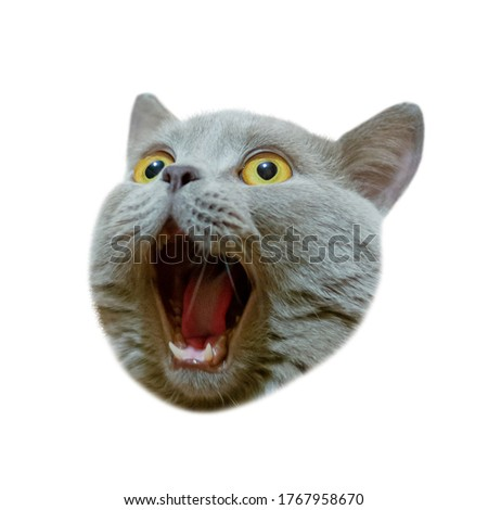 Isolated head of a british cat looking up. The cat opened his mouth with a mad look. The concept of an animal that is surprised or amazed. The figure of a cat on an isolated background of white color. Photo stock ©