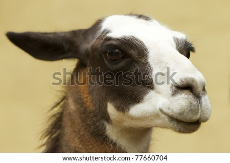 ISOLATED HEAD SHOT OF AN ADULT FEMALE LAMA GLAMA