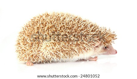 Isolated hedgehog on white background