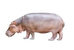 Isolated hippopotamus on white background