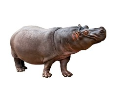 Isolated hippopotamus on white background making the face