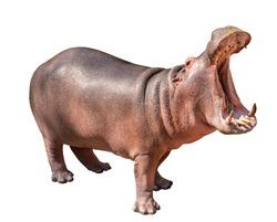Isolated Hippopotamus on white background, side view Hippopotamus, open mouth.