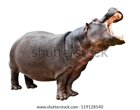 Isolated hippopotamus on white background with opened mouth