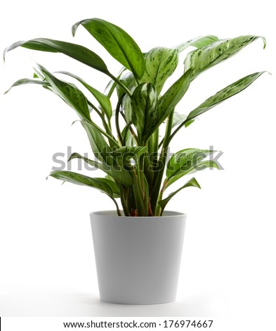 Isolated Houseplant on White, Chinese Evergreen - Shutterstock ID 176974667