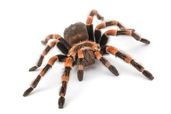 Isolated image of a tarantula